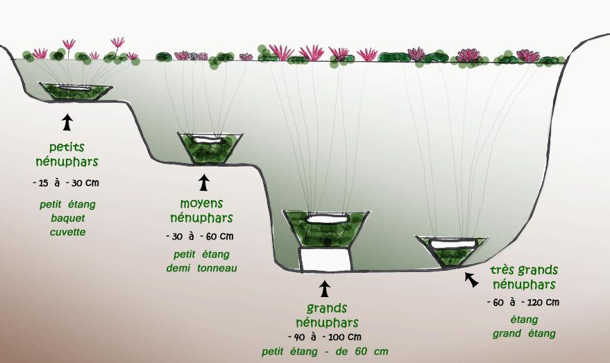 présentation nénuphars - planteaquatique