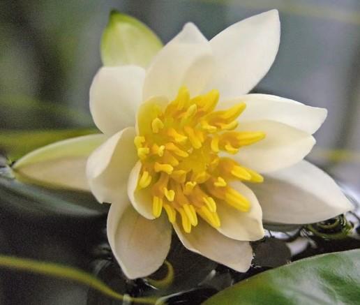 Nymphea Petits Planteaquatique